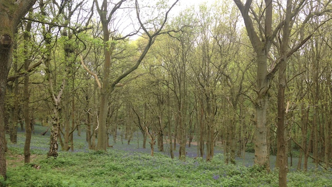 Blanket of Bluebells in Cannock Chase